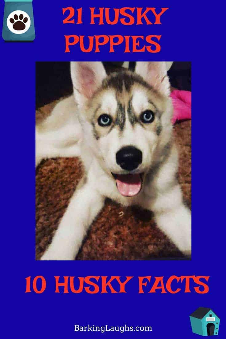 21 husky puppies 10 husky facts