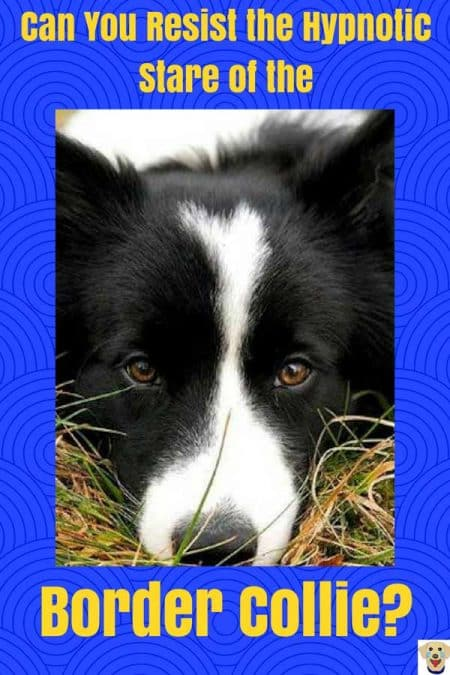 Border Collie doing their hypnotic stare