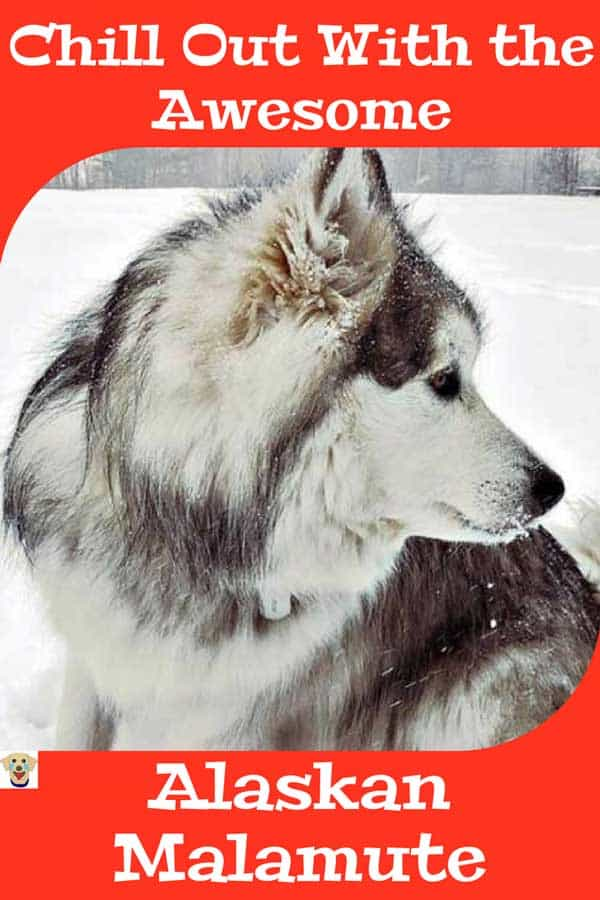 Awesome dog picture of an Alaskan Malamute