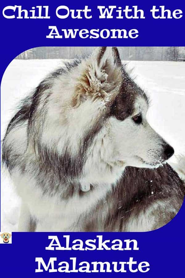 chill out with Awesome dog pictures of an Alaskan Malamutes