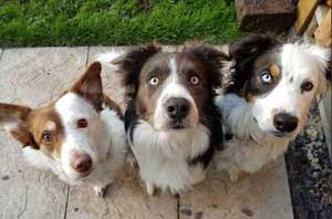 3 Border Collies posing for the camera.