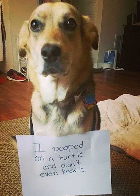 Dog Shaming with a pooch that pooped on a turtle.