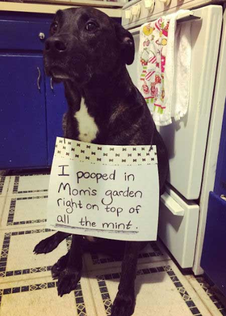 Funny Dog Shaming of a dog that pooped on the mint.