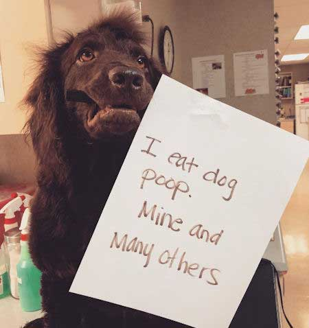Dog shaming with a dog that partakes in poop eating.
