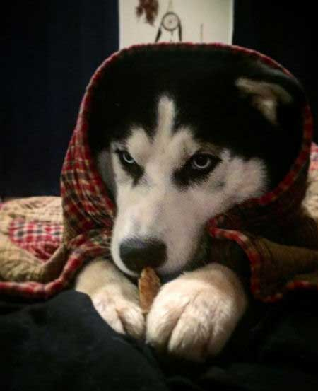 Husky that is hiding under the covers