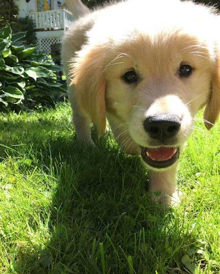 golden puppy walking on the grass