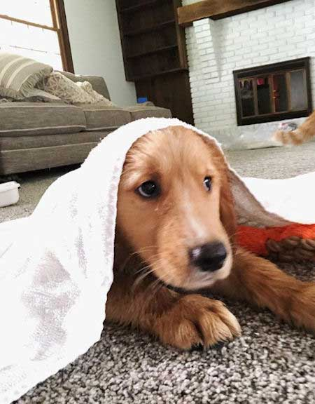golden retriever puppy hanging out under a towel