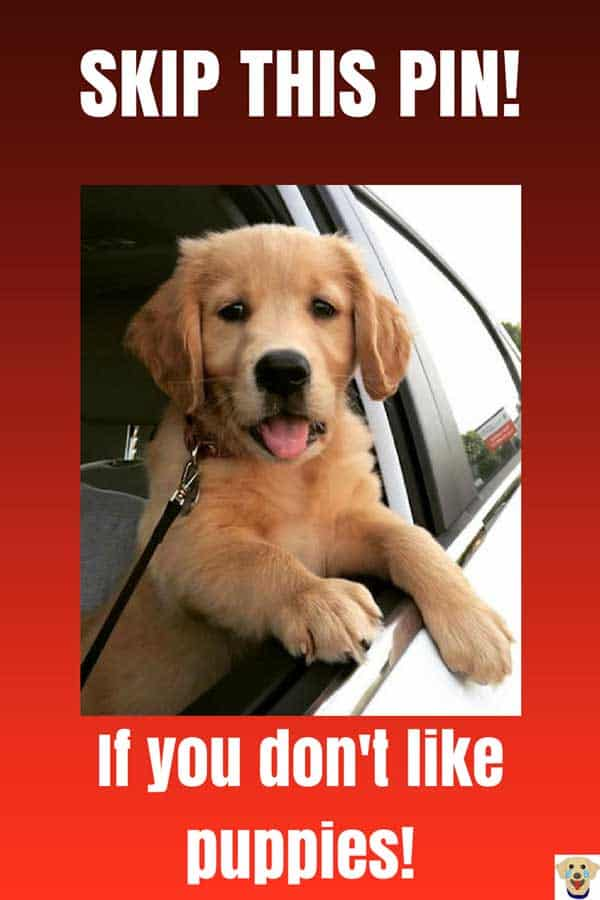 cute golden retriever puppy hanging out the window