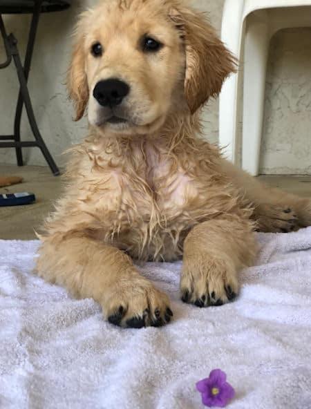 golden puppy sitting up