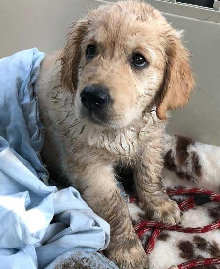 wet golden puppy