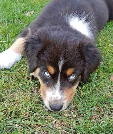 Blue eyed Australian shepherd on the grass