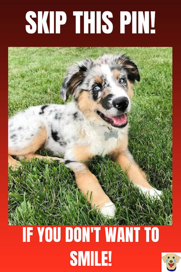 Awesome Aussie Puppy Picture, which is one of 25 cute puppies,