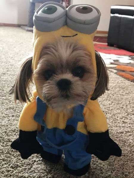 Shorkie dressed up in a Minion Dog Costume