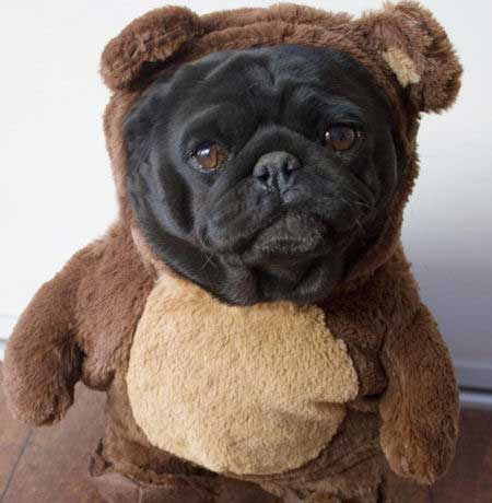 Willow the black pug dressed up in a teddy bear costume