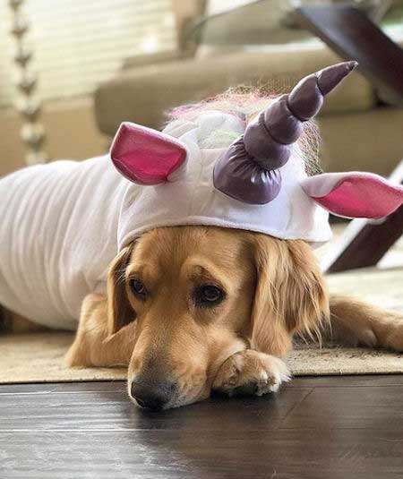 Golden Retriever dressed up as a unicorn