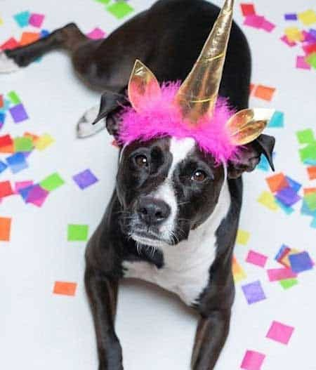 Martha the Rescue dog dressed up as a unicorn