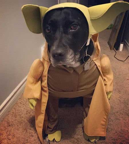 Cool dog wearing a Yoda Halloween costume