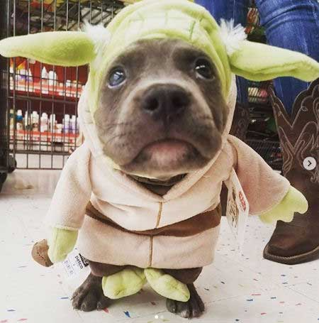 Pooch wearing a Yoda Dog Costume