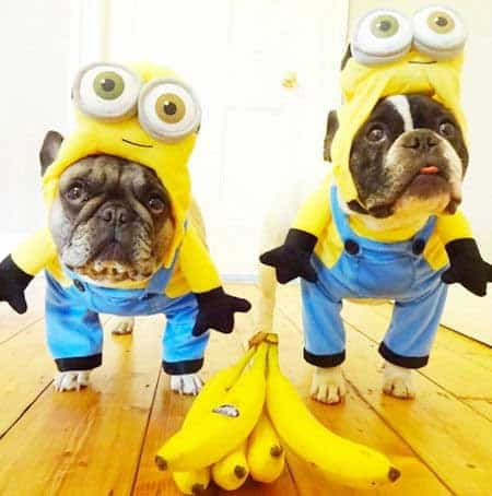 two French Bulldogs dressed up as minions