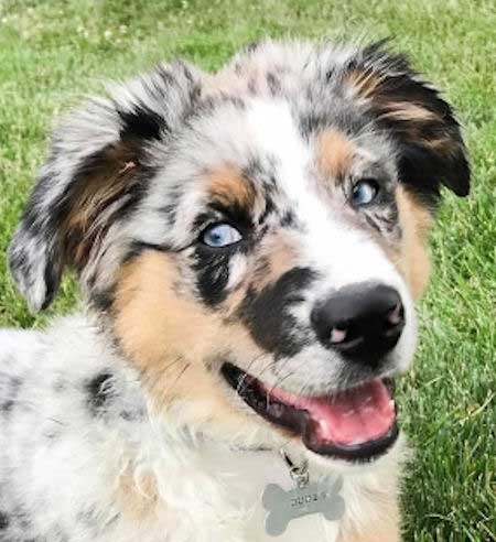 Dude the Blue Merle Australian Shepherd puppy with a great expression