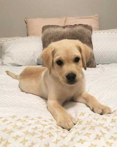 Yellow Lab Puppy on a bed