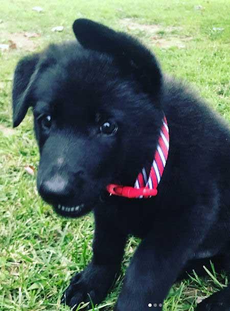 Black German Shepherd puppy