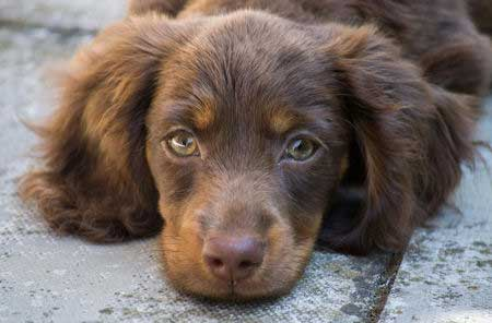 Miniature Long haired dachshund puppy