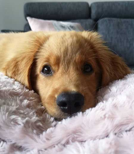 golden retriever puppy staring at the camera for puppy pictures