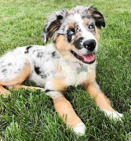 Dude the Blue Merle, Australian Shepherd puppy smiling for puppy pictures