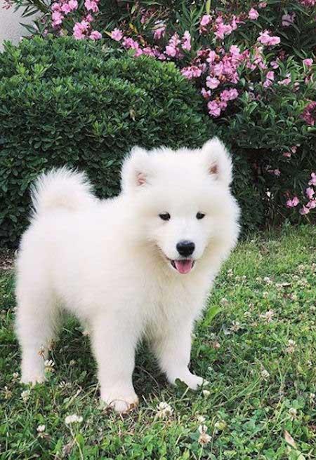 Samoyed white puppy