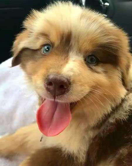 Awesome puppy picture of Rooster the Aussie
