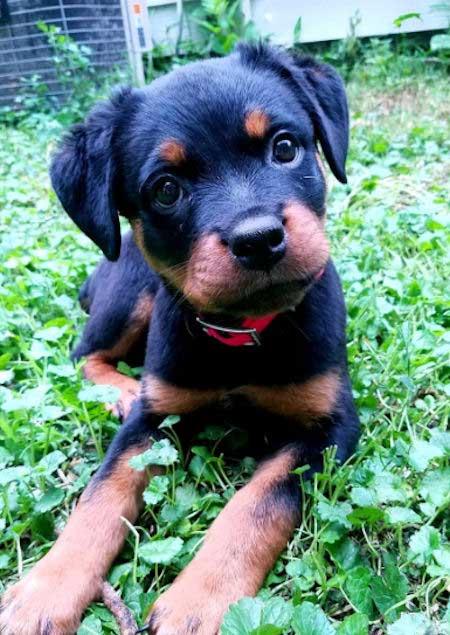 Rey the Rottweiler Puppy