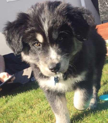husky and golden retriever puppy mix