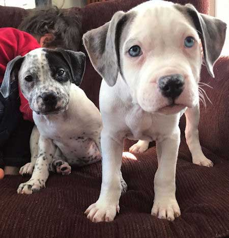 blue and brown eyed puppies on a sofa