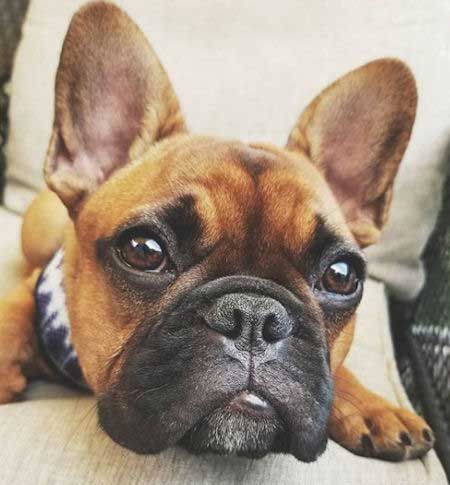 Frenchie puppy staring at the camera for puppy pictures