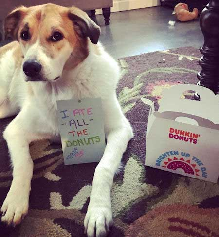 Funny dog ate all the dunkin donuts donuts