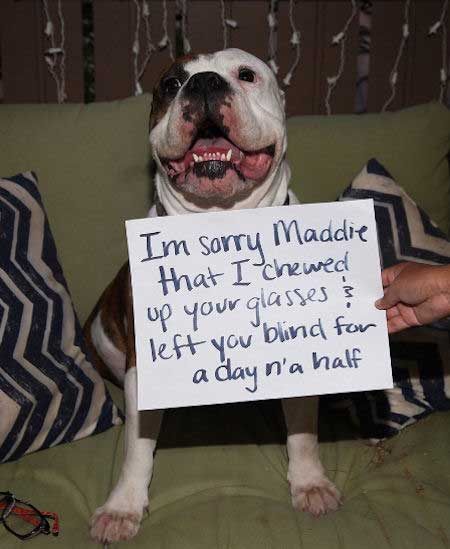 dogshaming picture of a pooch that ate someone's glasses