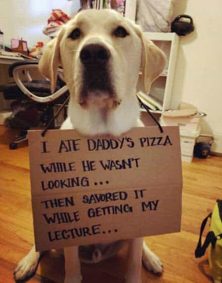 dogshaming picture of a yellow labrador who ate a pizza