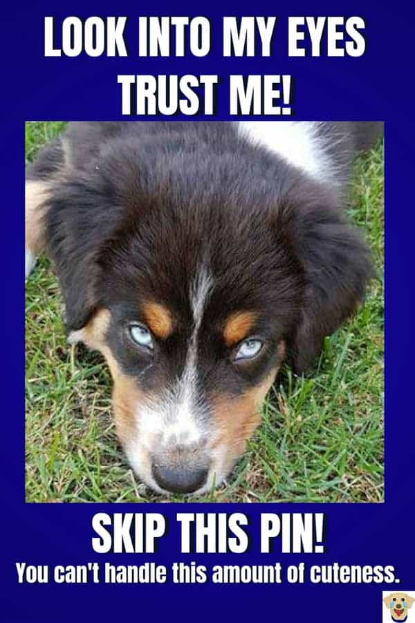 Tricolor Aussie with awesome eyes