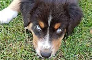 Aussie with blue eyes
