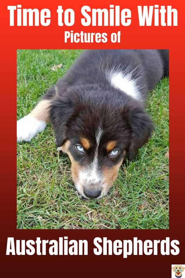 Tricolor Aussie with awesome eyes staring at the camera.