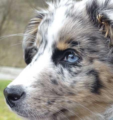 blue eyed shepherd