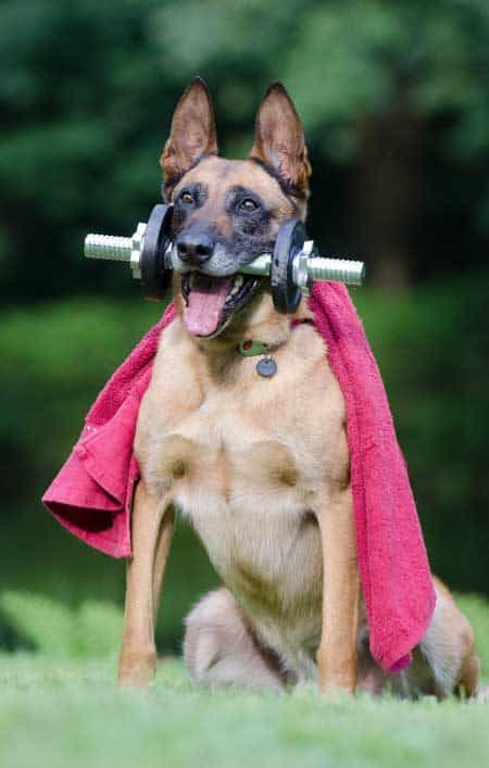 big dog with dumbbell in mouth