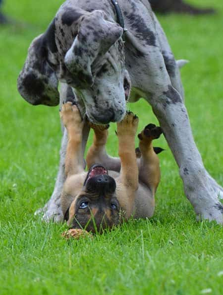 great dane puppies playing