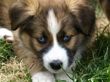 blue eyed puppy