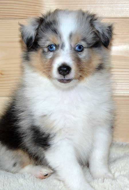 Awesome little puppy with blue eyes