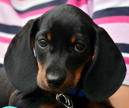 dash-hound pup