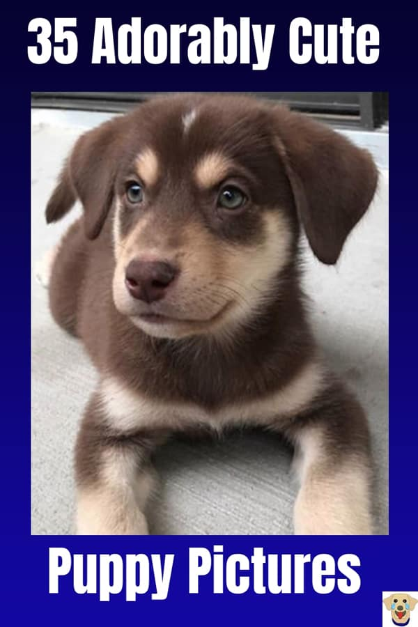 A cute picture of a puppy that is half Lab and half Husky, a Labsky or a Huskador.
