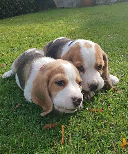 two beagle puppies chewing something on the grass