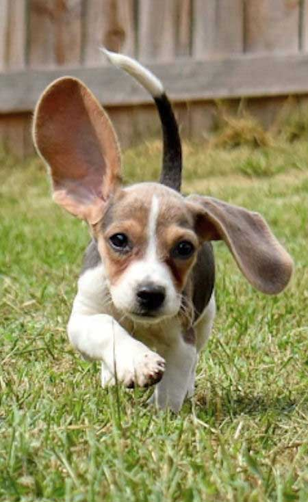 beagle puppy running with ears flopping